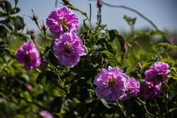 İran'ın kuzeyinde çiçek hasadı