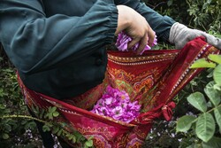 Harvesting damask rose in northern Mazandaran prov.