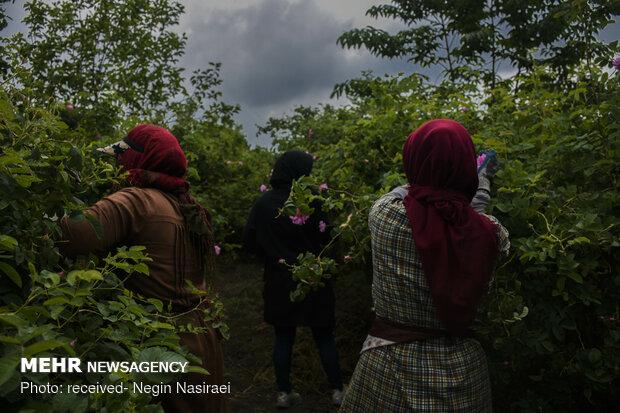 Harvesting damask rose in northern Mazandaran prov.