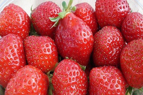 جني ثمار الفراولة من مزارع كردستان غربي ايران