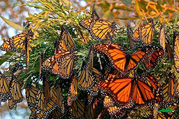 هجوم پروانهها در مزارع کشاورزی خراسان شمالی خسارتی نخواهد داشت