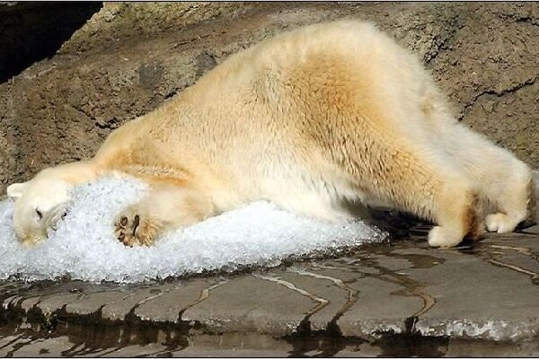 VIDEO: Polar bear chills out with ice cubes