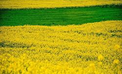 طرح کاهش ۵۰ درصدی وابستگی کشور به واردات دانههای روغنی/ کشت کلزا در اراضی شمالی