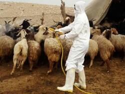 سمپاشی رایگان ۲ میلیون متر مکعب جایگاه دام در کرمانشاه
