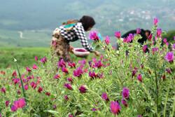 البرز اور مازندران میں گل گاؤ زبان کے دشت