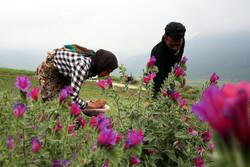 """İran'da """"Engerekotu"""" hasadı"""