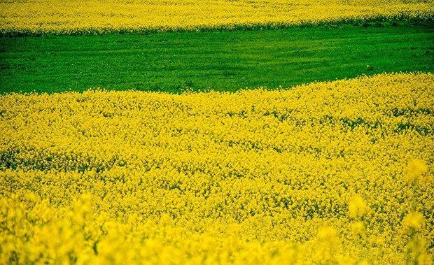 طرح کاهش ۵۰ درصدی وابستگی کشور به واردات دانههای روغنی,
