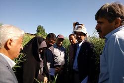 معاون زراعت وزارت جهاد کشاورزی از مزرعه تولید بذر بازدید کرد