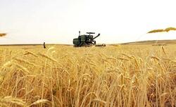 تولید گندم در کشور به پایداری رسید/چهارمین سال خودکفایی