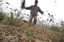 مشاهده ملخ «شکم بادمجانی» در چندین محله پاکدشت