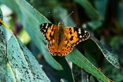Kum kenti göçmen kelebekleri ağırlıyor