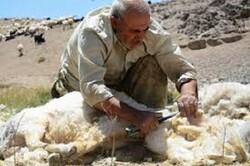 ۱۰ درصد پشم آذربایجان شرقی در مرند تولید میشود