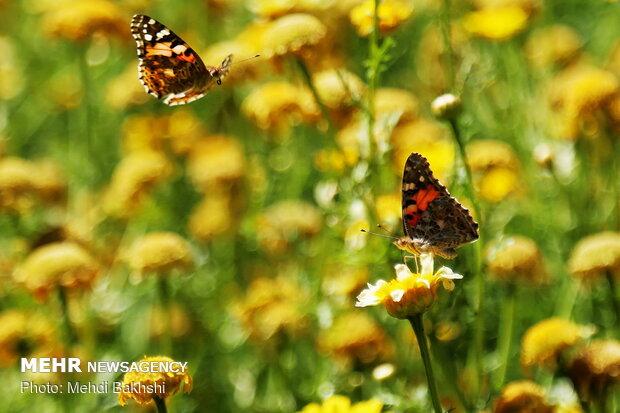 الفراشات بزيارة قم
