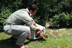 نجات یک قلاده گربه جنگلی و رهاسازی آن در طبیعت شهرستان شفت