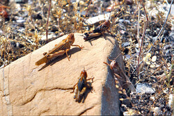 $2.3m earmarked for fighting locusts in southeastern Iran