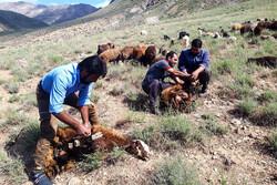 Sheep shearing in Meyami County
