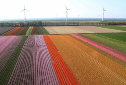 مزارع ورود التوليب في هولندا/ صور