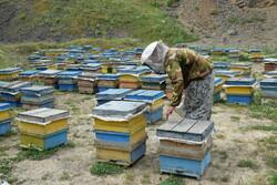۲۵۰ تعاونی زنبورداری در کشور فعالیت می کنند