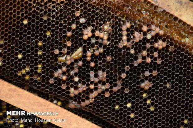 Bee breeding, honey production in HeyranDefile