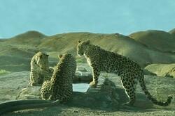 تصویر برداری همزمان از ۳ پلنگ در شاهرود/ تصویر یک یوزپلنگ ثبت شد