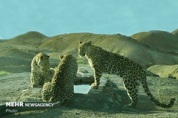 Three Persian leopards, one cheetah spotted in Semnan