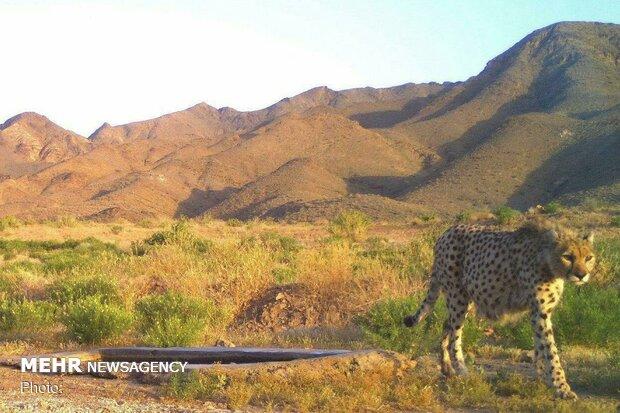 مشاهده دو یوزپلنگ ایرانی در طبس