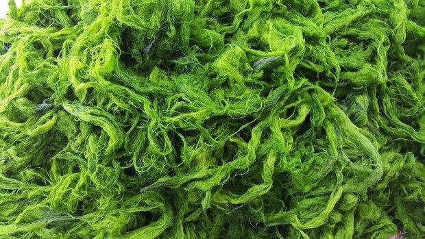 Incredible algae potentials