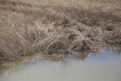 Flood damage to wheat fields in Khuzestan