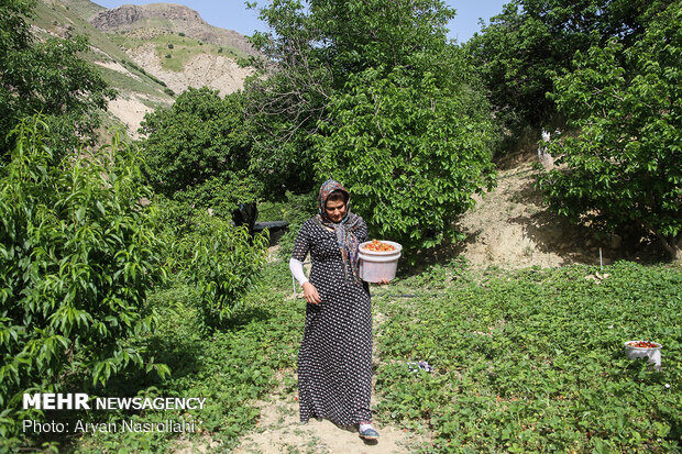 Strawberry harvest in Kurdestan province
