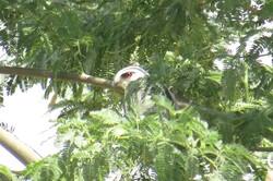 نخستین زادآوری پرندگان شکاری در استان بوشهر ثبت شد