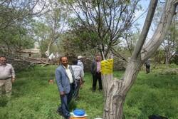 طرح سرشاخه کاری در ۵۲۰ هکتار از باغات چهارمحال و بختیاری اجرا شد