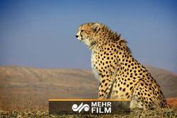 VIDEO: Asiatic cheetah caught on camera in Semnan
