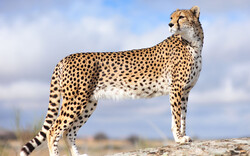 Rare Asiatic cheetah sighted in north central Iran