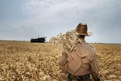 برداشت ۷۰۰ هزار تن گندم از مزارع آذربایجان غربی آغاز شد