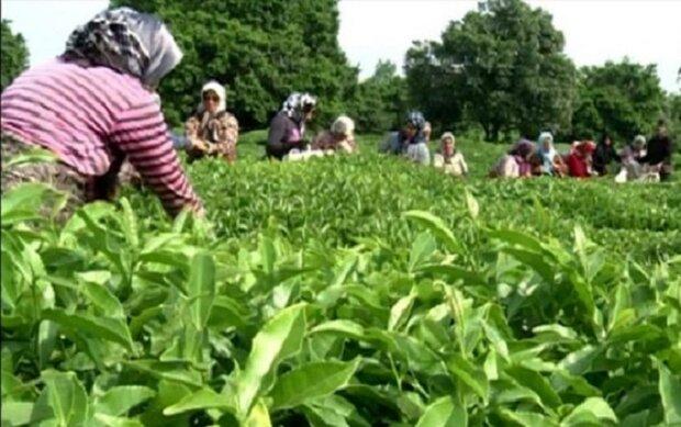 خرید ۶۳ هزار تن برگ سبز چای از کشاورزان