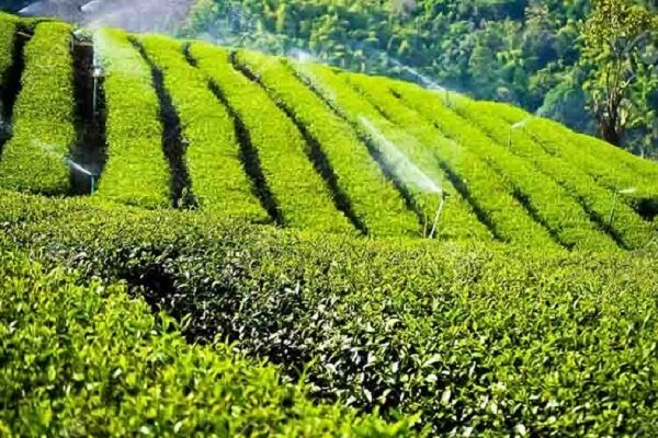 Iran, Sri Lanka to increase tea trade