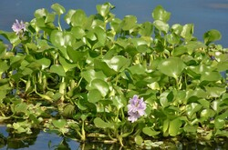 Common water hyacinth venders sell carcinogenic