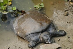 Euphrates softshell turtle threatened with extinction in Iran