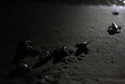 Hawksbill sea turtles hatch on Kish Island