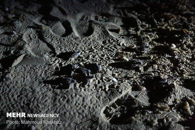 تفقيس بيوض سلاحف منقار الصقر في جزيرة كيش