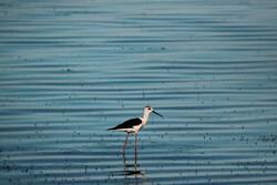 بازگشت پرندگان مهاجر به تالاب آقگل