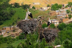 Locals build bird nests; flocks of storks fly to western Iran