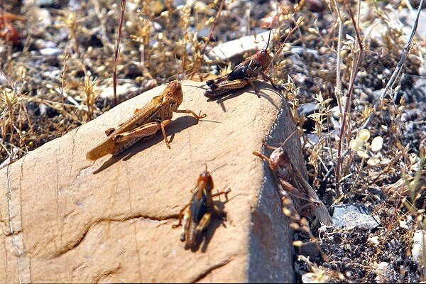 VIDEO: Locusts swarm across Sistan and Baluchestan
