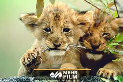 فسیل ۳۰هزار ساله یک شیر در منطقه سیبری کشف شد