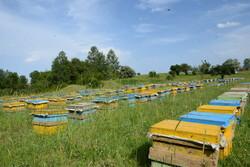 سرشماری زنبورستانهای کشور از ۶ مهر آغاز می شود/کوچ ممنوع است