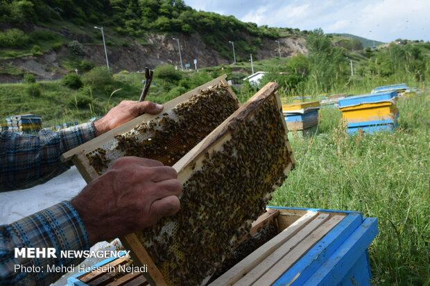 تولید ۳۰۰ تن عسل در استان سمنان پیشبینی میشود