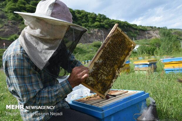 """مزارع النحل في """"آستارا"""" شمال غربي ايران"""