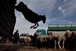 جزئیات تلف شدن ۱۰۷ گوسفند/ احتمال مسمومیت ناشی از پساب پتروشیمی
