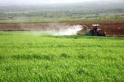 آغاز سم پاشی ۵۰ هکتار از مزارع کاشان برای مبارزه با هجوم ملخ ها