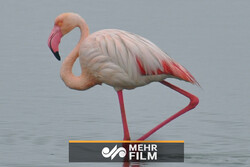 VIDEO: Flamingos return to Shadegan pond